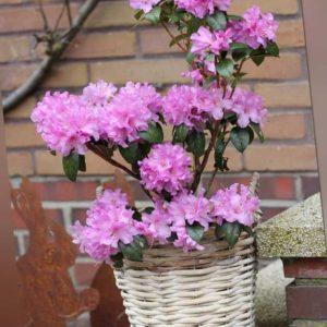 new Rhododendron ''Praecox'' ab 27.99 (29.99) Euro im Angebot