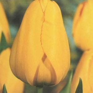 new Besondere Tulpen