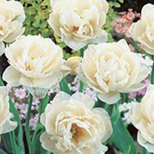 new Besondere Tulpen-Set