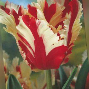 new Papageien Tulpen