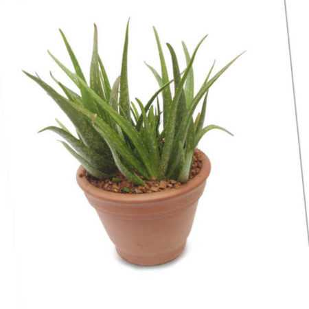 new Aloe Vera ab 29.99 (29.99) Euro im Angebot