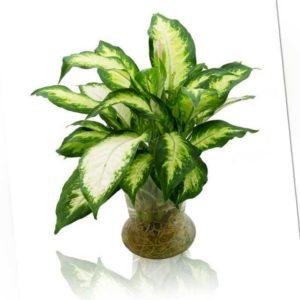 new Dieffenbachie inkl. Vase
