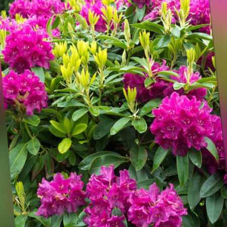 new Rhododendron im 2er Set ab 34.99 (34.99) Euro im Angebot