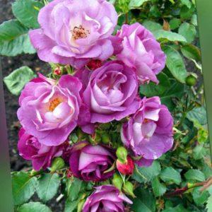 new Rosen-Schönheiten