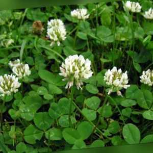 Großpackung 200.000+ Samen Trifolium repens - Weissklee , Weiß-Klee