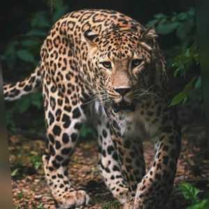 Kuscheldecke Microfaser Flauschdecke mit Leopard 120  x 150 cm