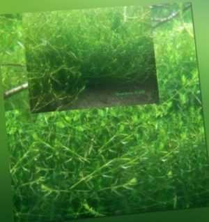 Laichkraut winterharte immergrüne Wasserpflanzen Deko für den Teich gegen Algen!