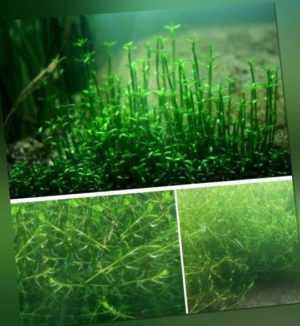 Nadelkraut grüne Unterwasserpflanzen Filterpflanzen gegen Algen für den Teich !