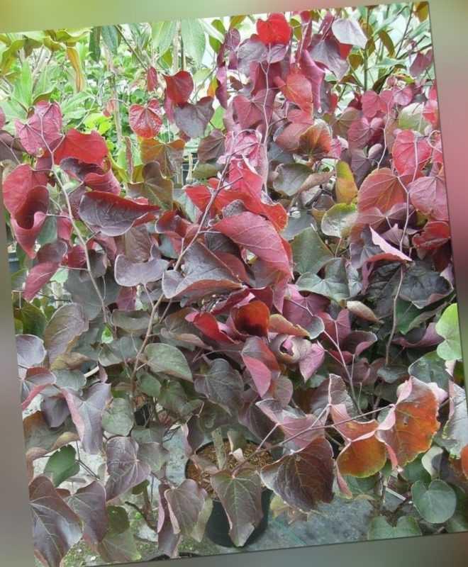 Cercis canadensis Forest Pansy, roter Judasbaum 130-140cm pinker Frühjahrsblüher